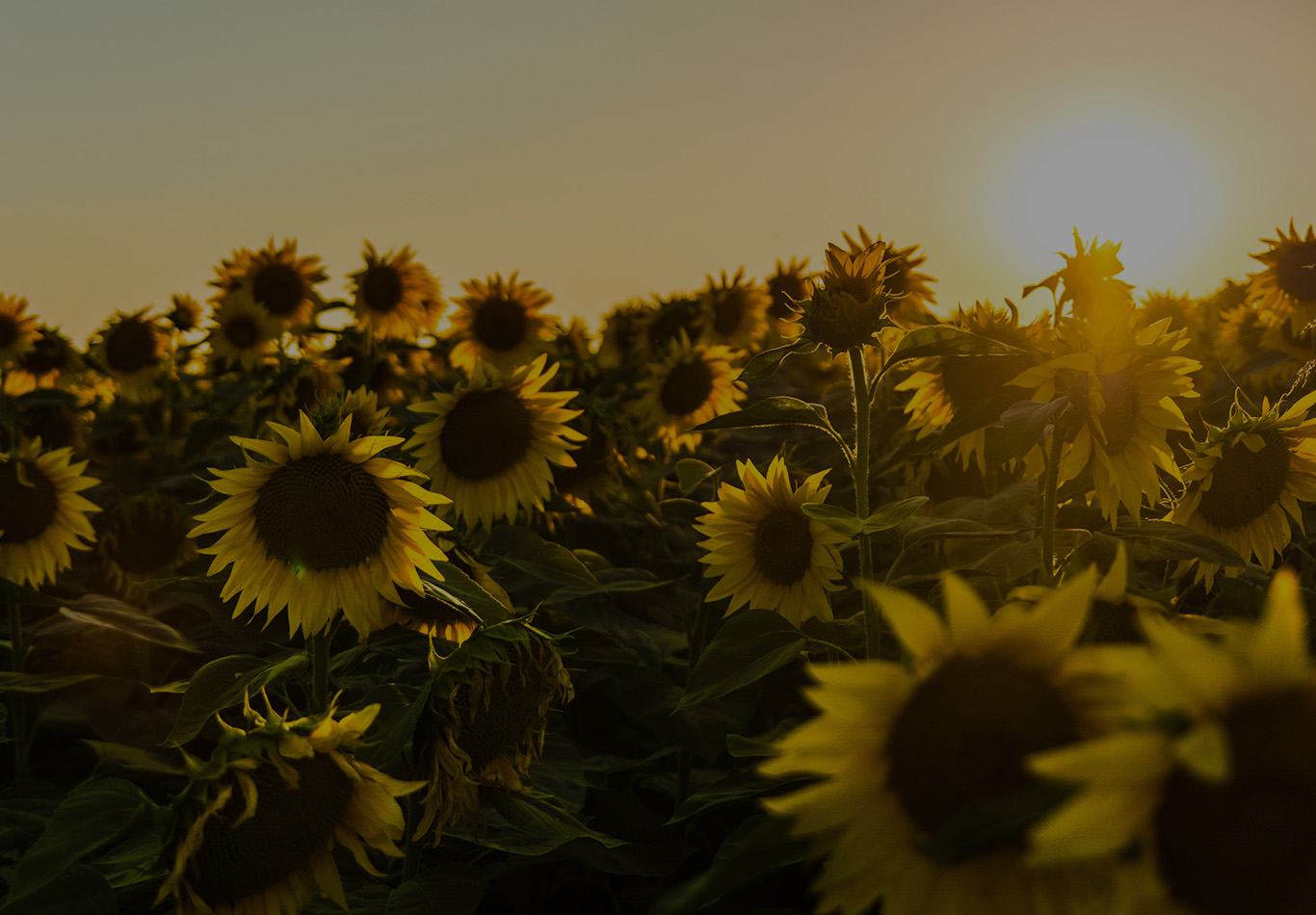 A grove of sunflowers with the sun in the background